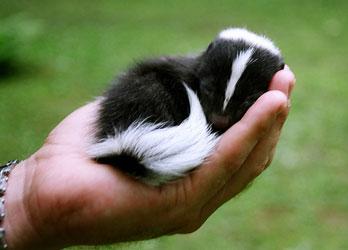 skunk-for-sale.jpg