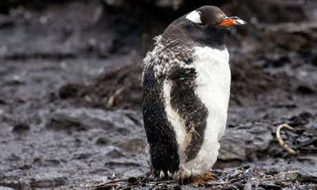 A grumpy-looking gentoo penguin in mid-moult. He looks a bit like someone put him in on the wrong wash cycle. Photograph: Robin Pascal