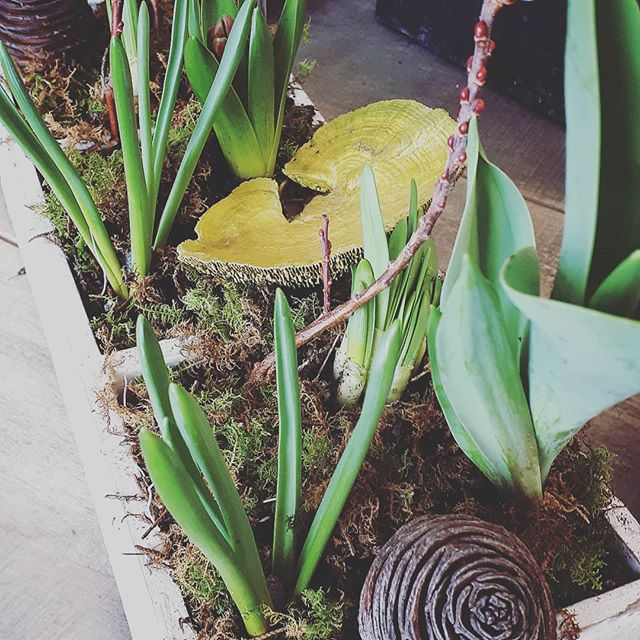 Blistery and cold outside - our spring bulb gardens are on point today #tulip #moss #pammettsflowers #shabbychic #grabandgo #supportlocal #greenvibes #thinkspring #croscus #spring #springbulbs #bulb