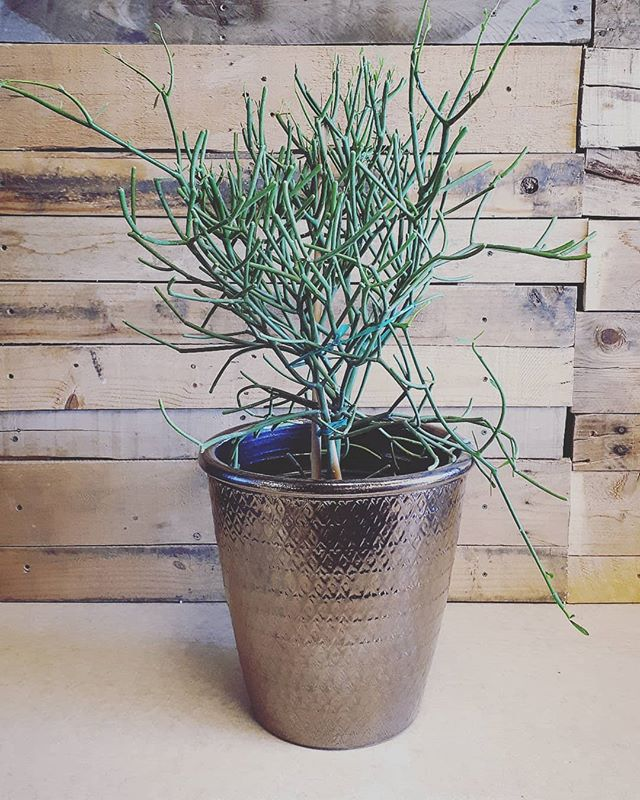 We haven't had one of these beauts in a long time - pencil cactus #pammettsflowers #coolplants #pottery #onlyone #grabandgo #unique #greenvibes #desert #ptbolove #new