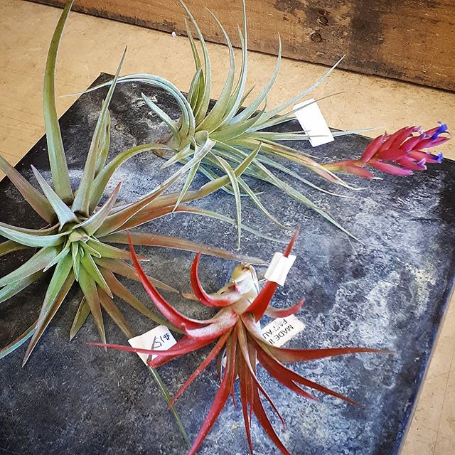 Coloured and flowering air plants now in stock #coolplants #pammettsflowers #justin #grabandgo #goingfast #inbloom #airplants #socool #ptbolove