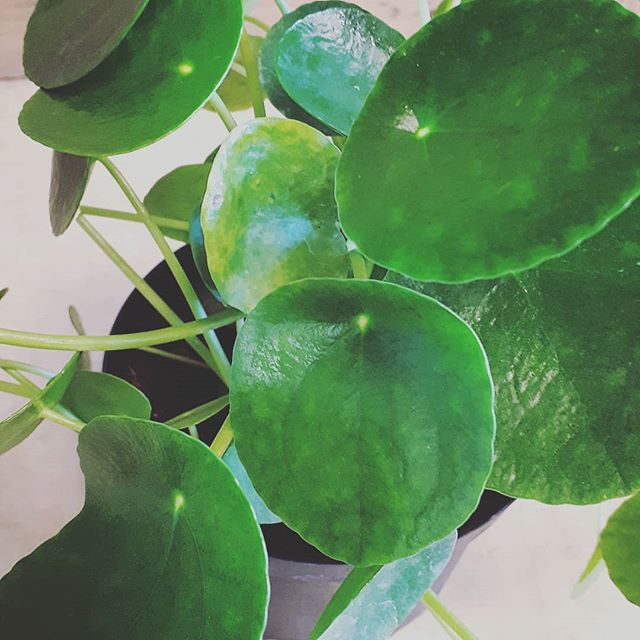 Pilea in store for the first time #pammettsflowers #coolplants #justin #tropicalvibes #green #supportlocal #shopdowntown #ptbolove #grabandgo