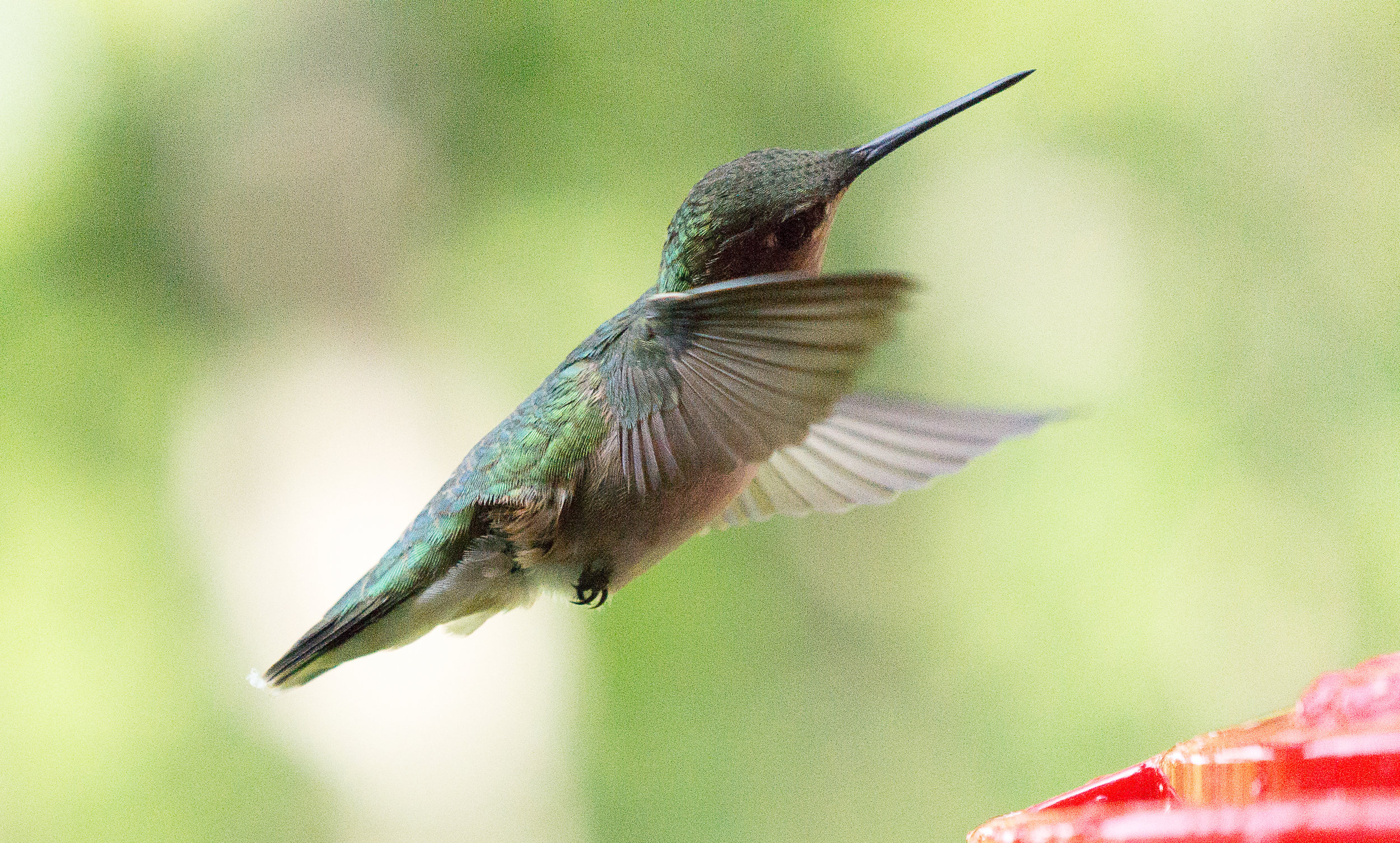 William Zinn_Hummingbird.jpg