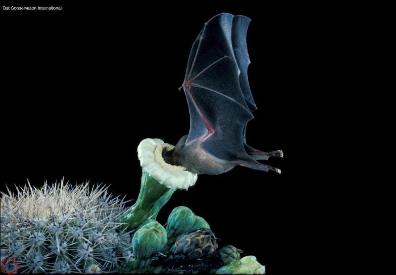 bat_LLN_TuttleBCI04.jpg