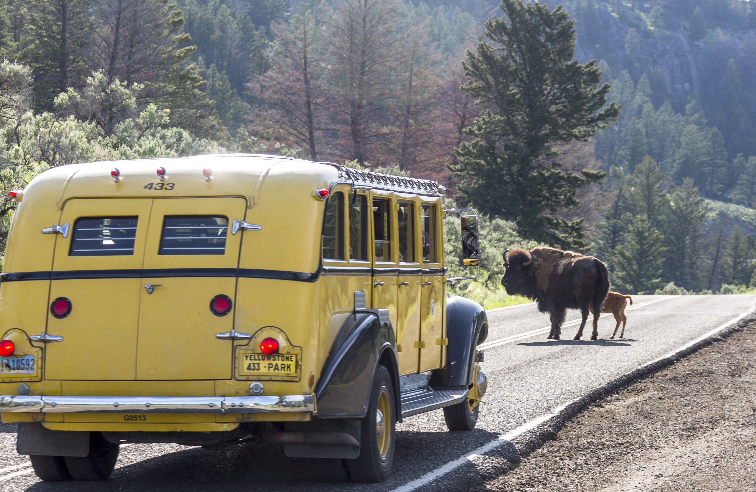 """This time of year there is no shortage of Bison and the resulting """"Bison Jams"""" that sometimes hold up traffic for miles."""