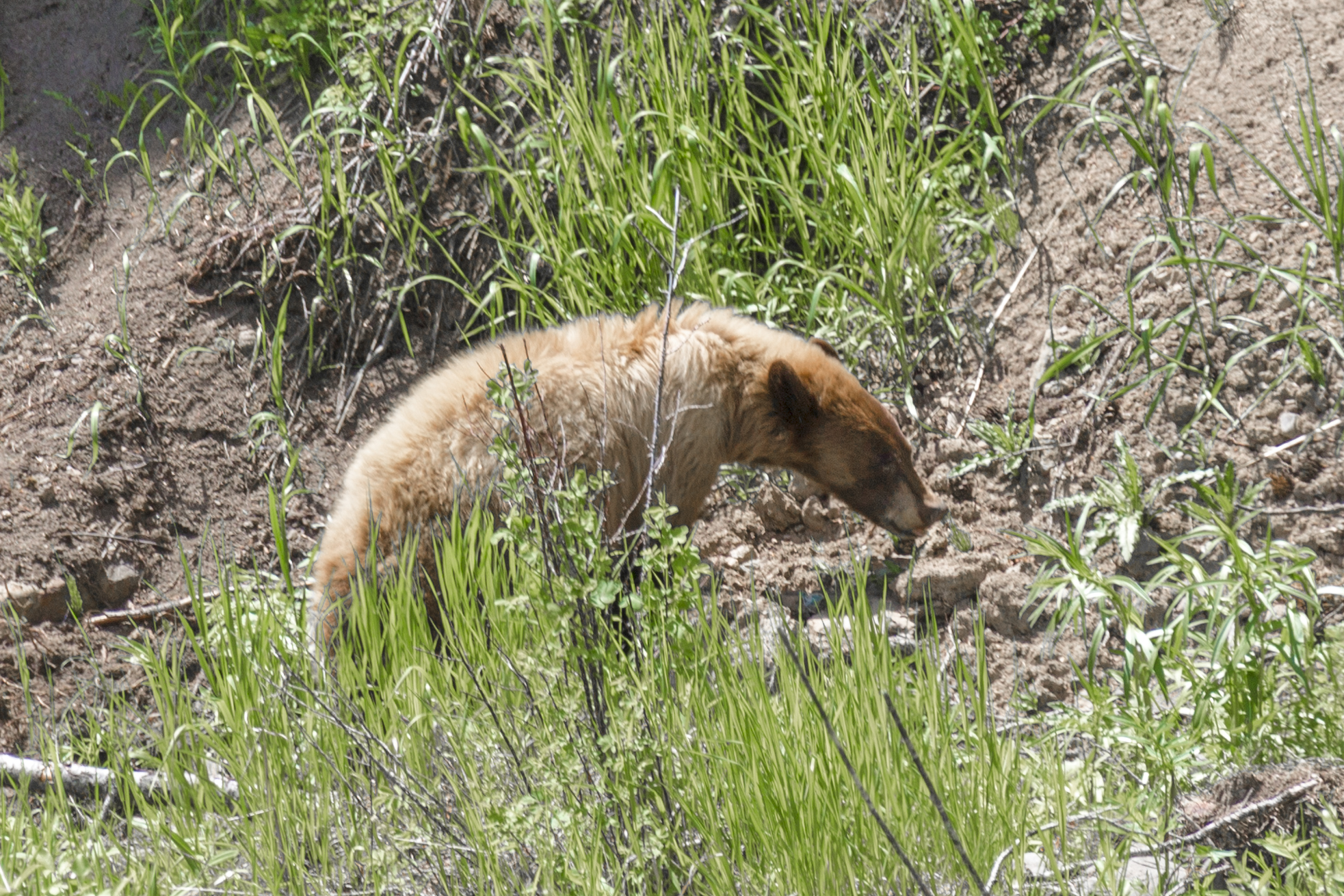So far we've seen black bears (this is actually a cinnamon black bear) and grizzly bears.