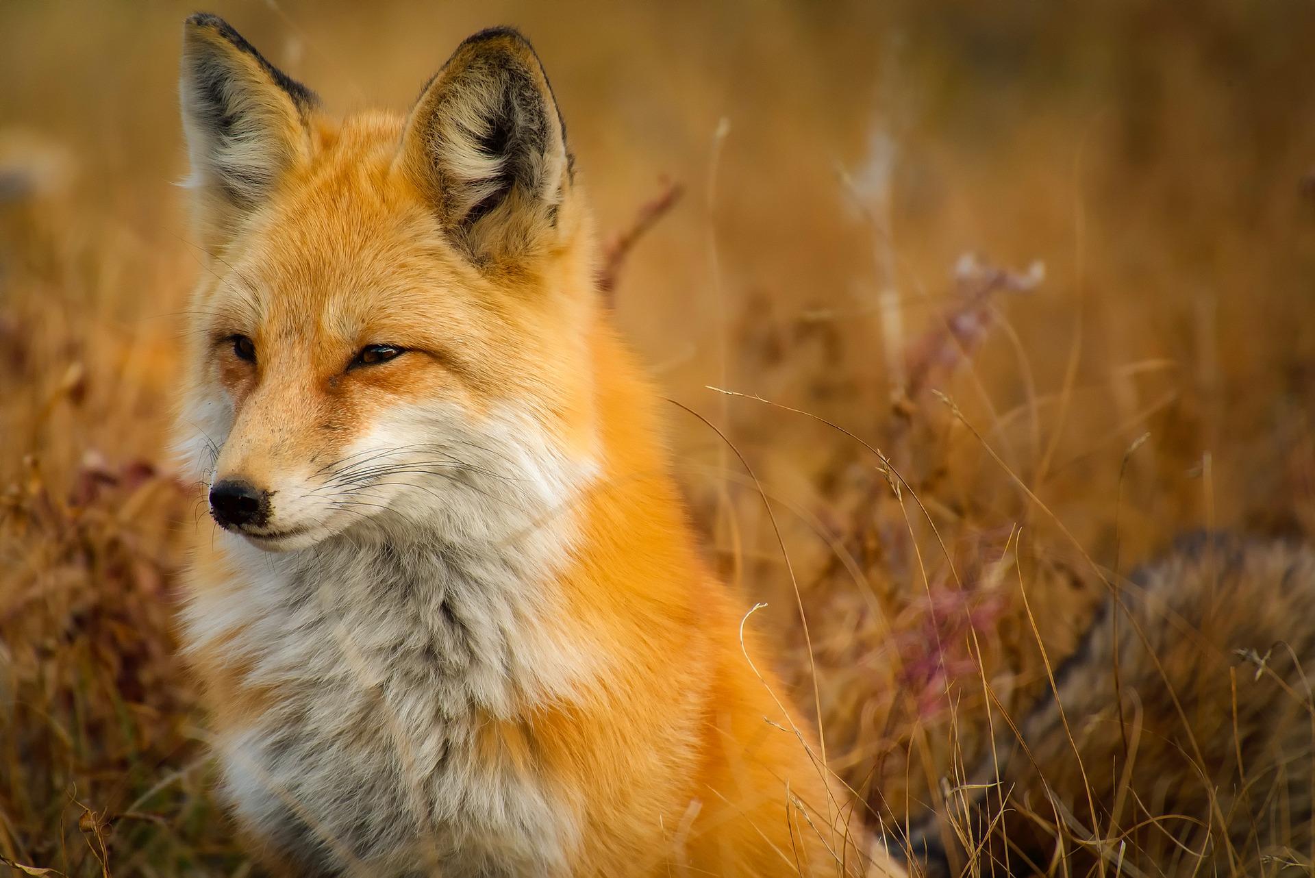 fox-1883658_1920.jpg