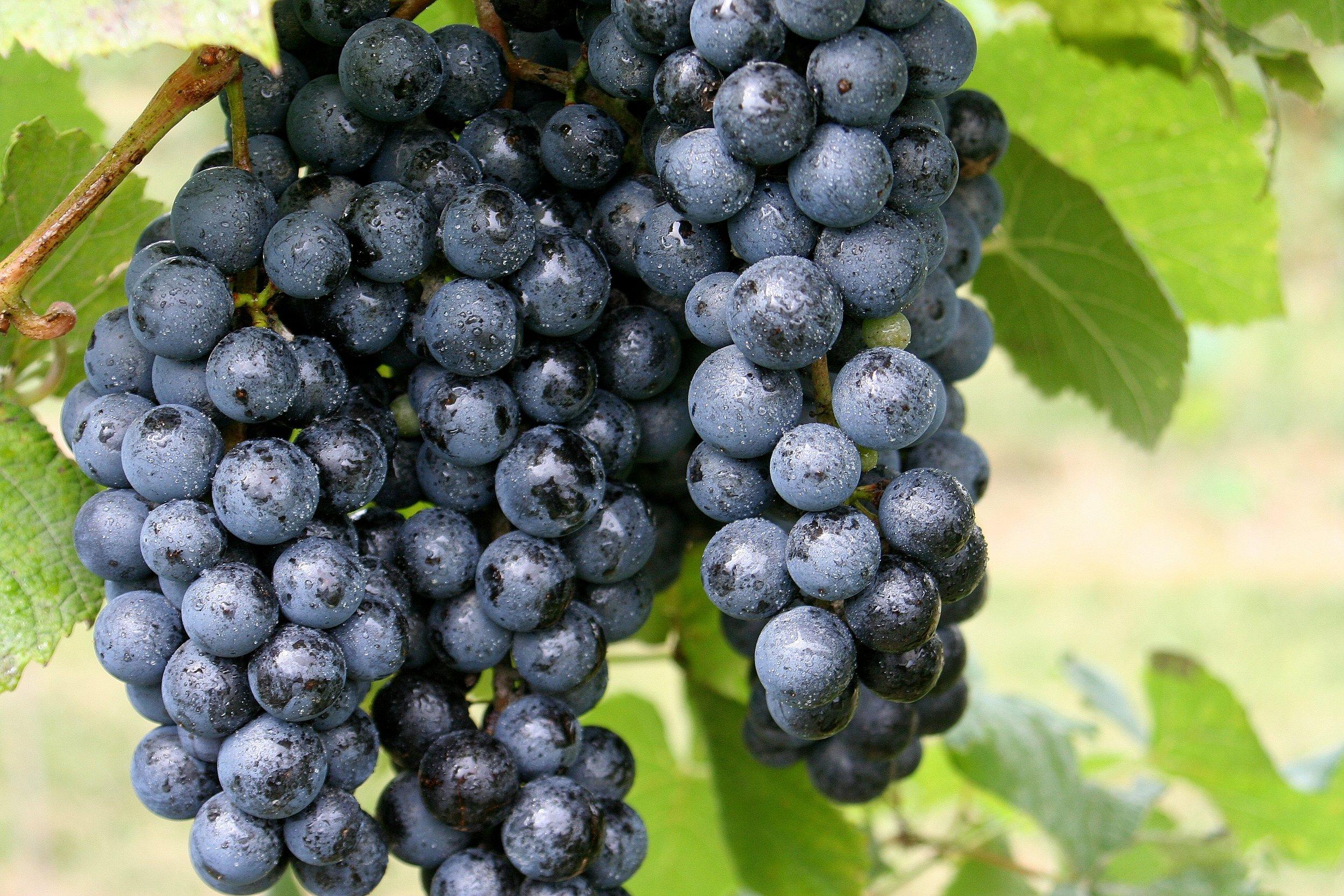 Two_Saints_Winery_large purple grapes 1.jpg