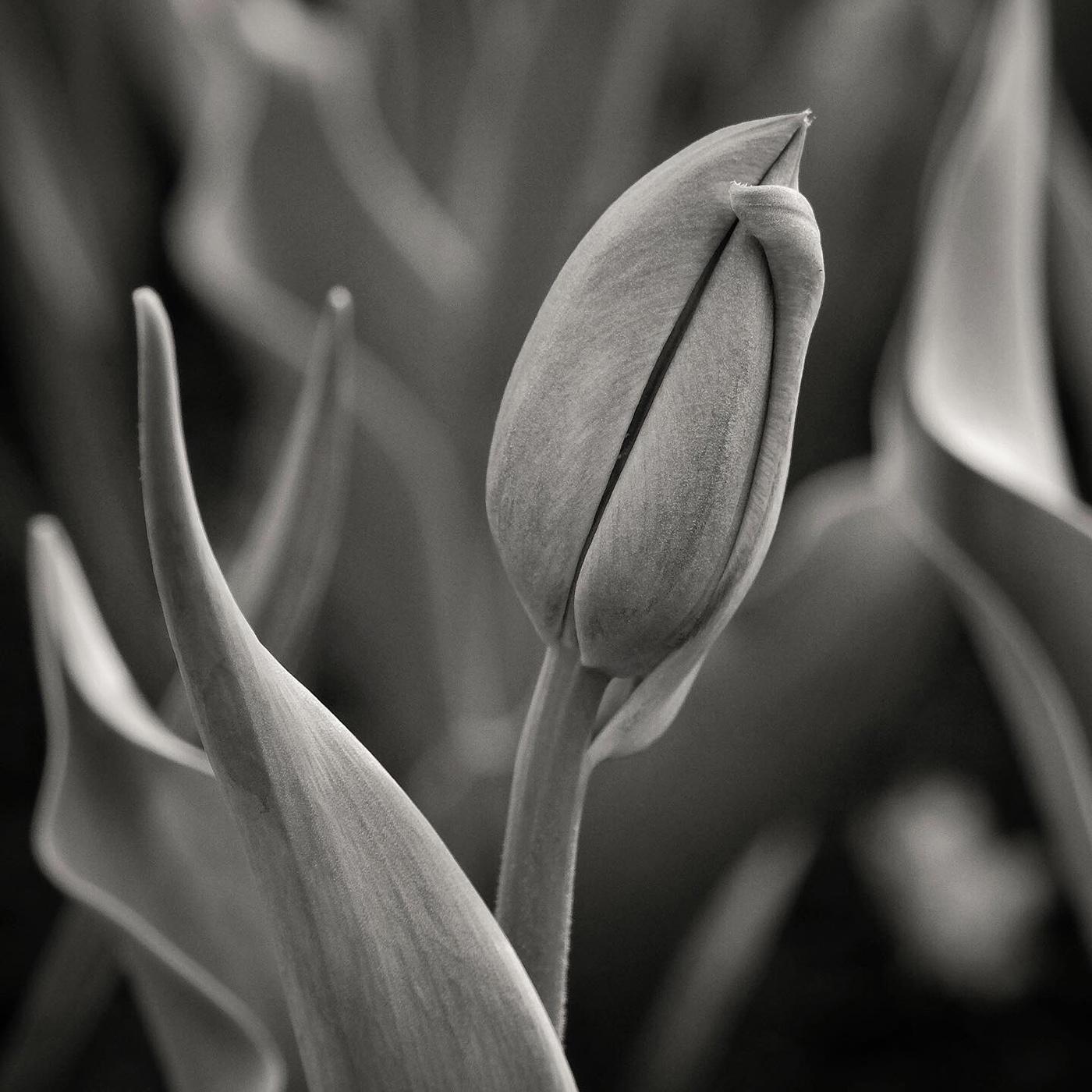 DBS_Tulips01.jpg