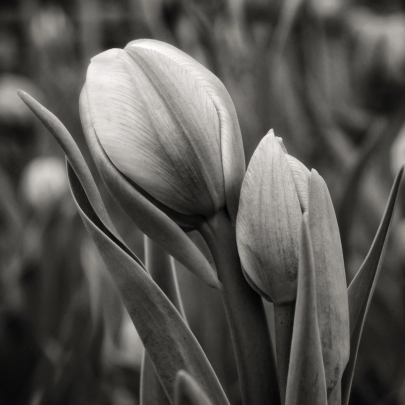 DBS_Tulips06.jpg