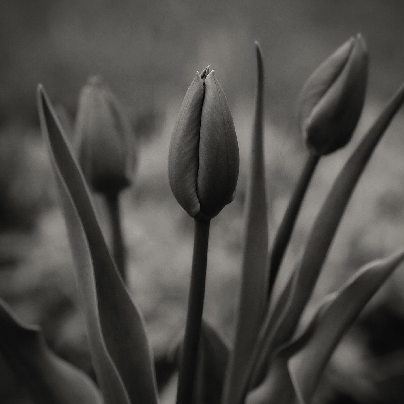 DBS_Tulips04.jpg