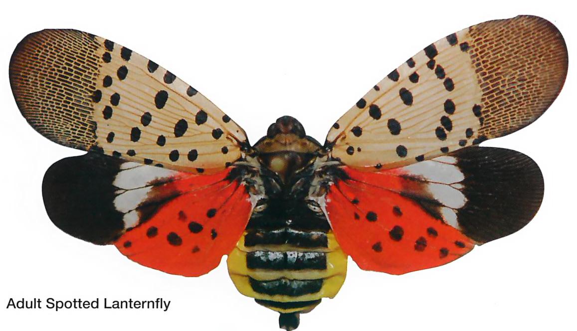 lanternfly.jpg