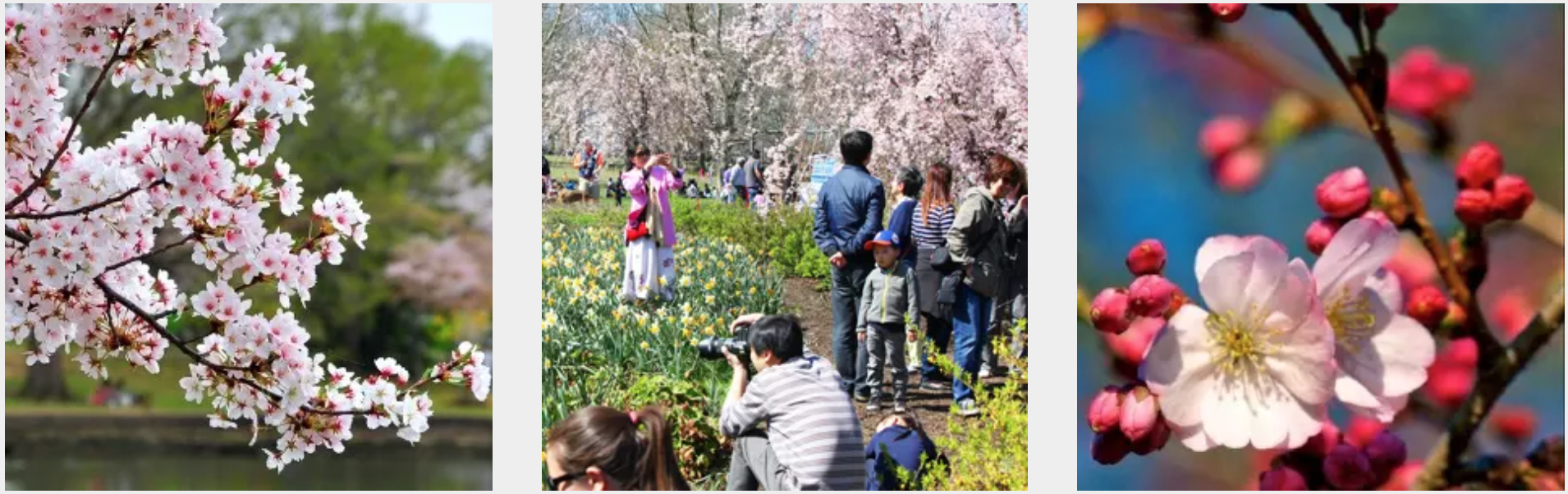 New Jersey's Essex County Cherry Blossom Festival and Bloomfest