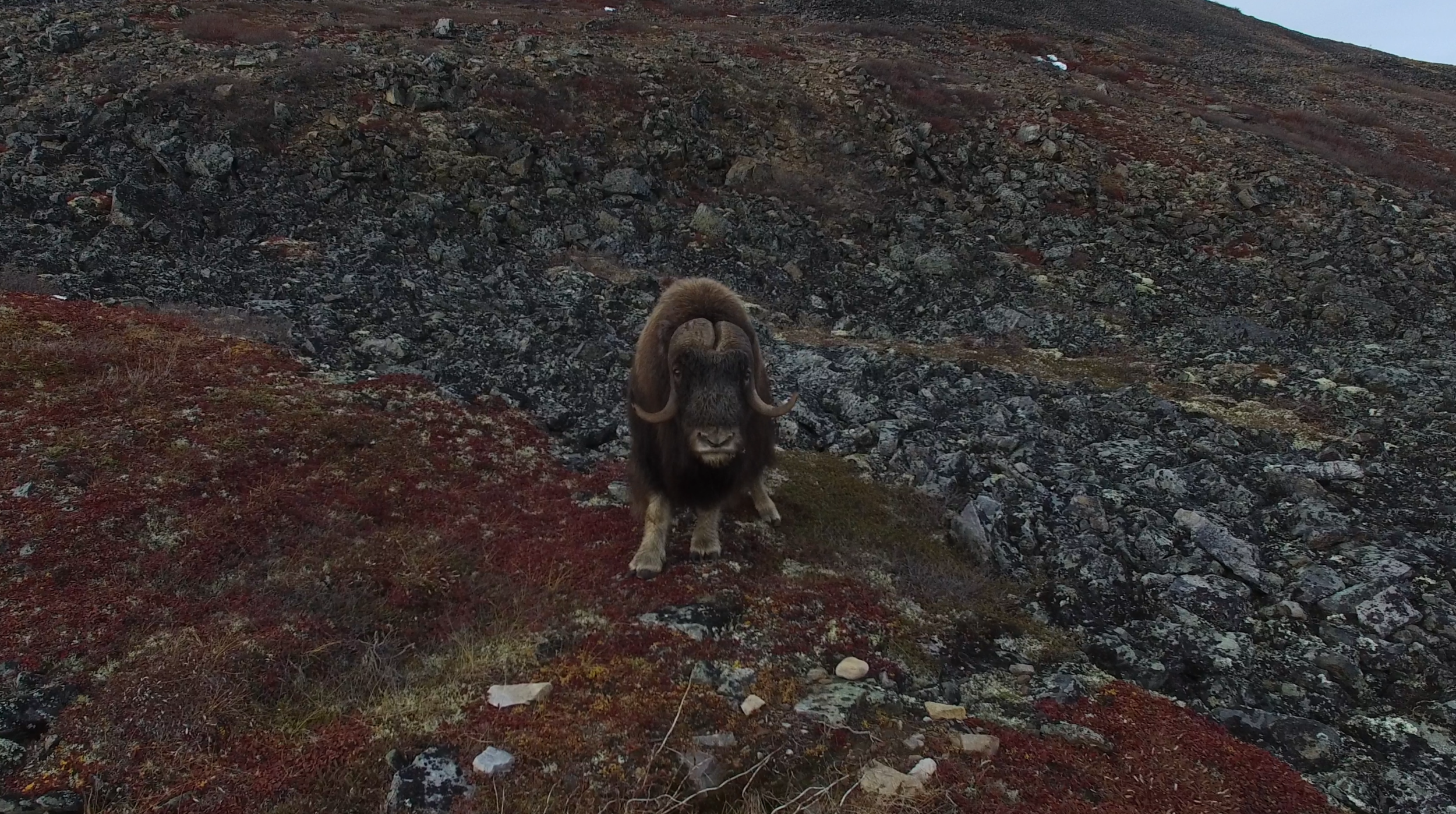 4K Aerial footage of Muskox near Ft. McPherson