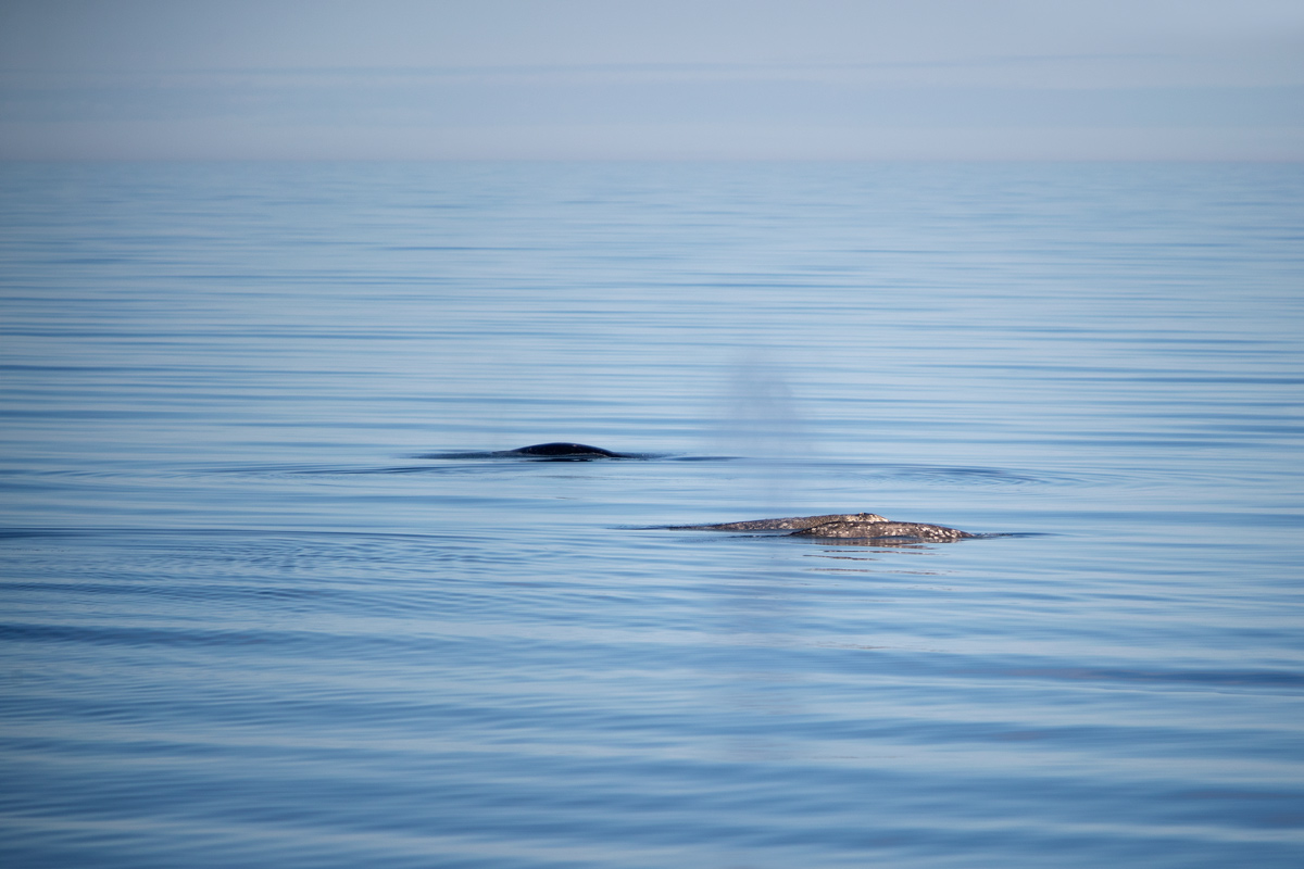 Three gray whales in transit. From the bridge, you could see the sediment plumes left by the mom and her calf from scooping up the ocean floor.Photo credit: Brendan Smith