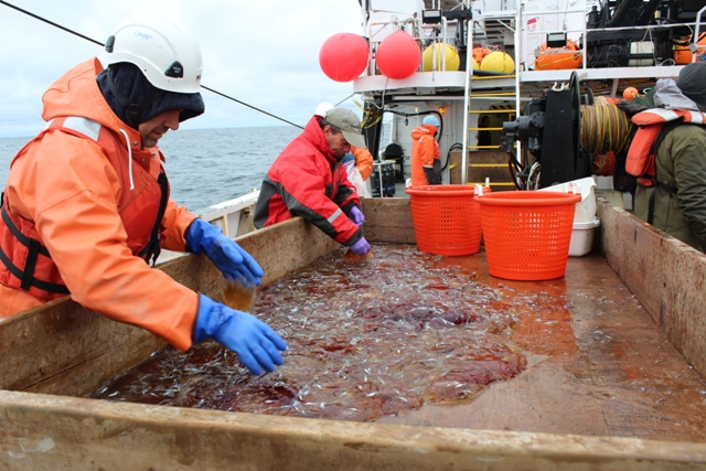 Sorting the catch from the mid water trawl.  Catch consists mainly of jellyfishes and age-0 Arctic cod. Photo credit: Ed Farley