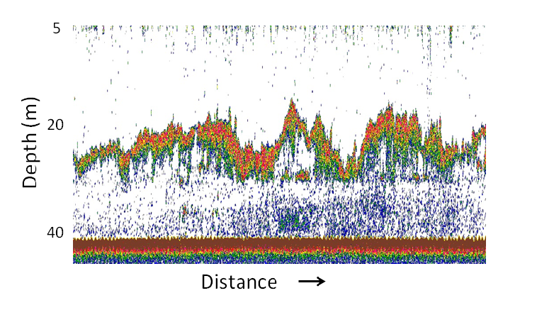 Acoustic image of an Arctic cod aggregation detected along the cruise track. The school is visible as the green to red color band at ~18 to 30 m depth. White represents low backscatter (few fish) and red high backscatter (many fish). The seafloor is visible as a dark red band at 42 m depth.