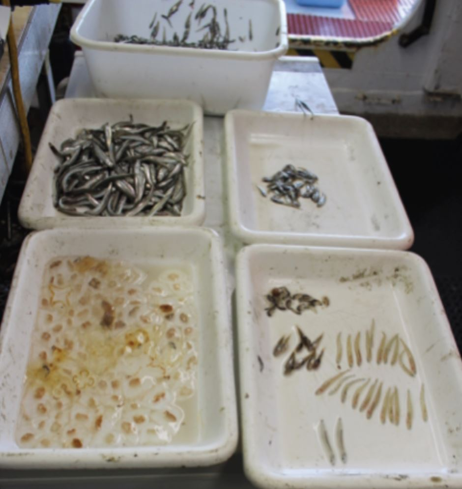 Tubs of different species taken from a midwater trawl. Photo credit: Alicia Flores