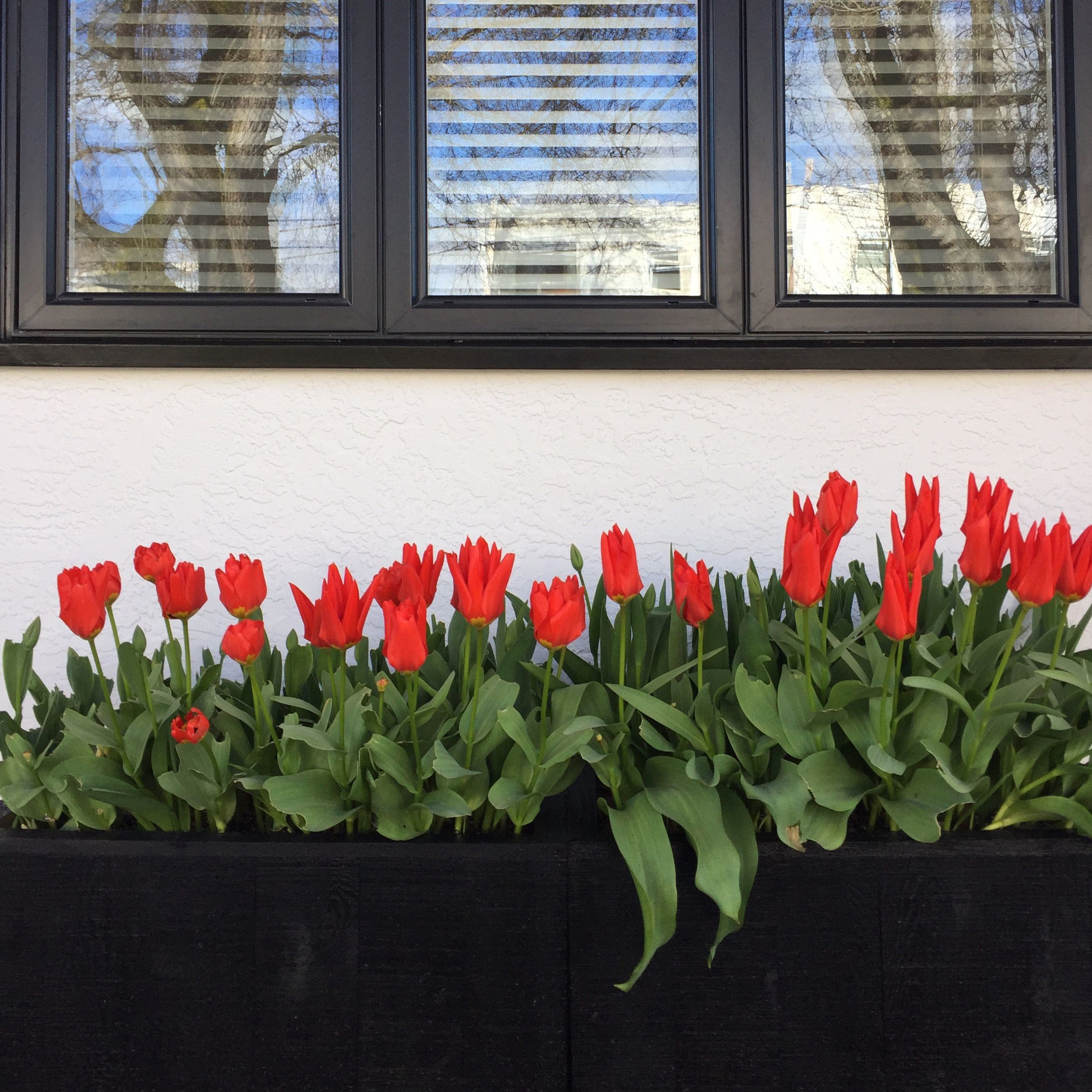 Red_Tulips_Victoria