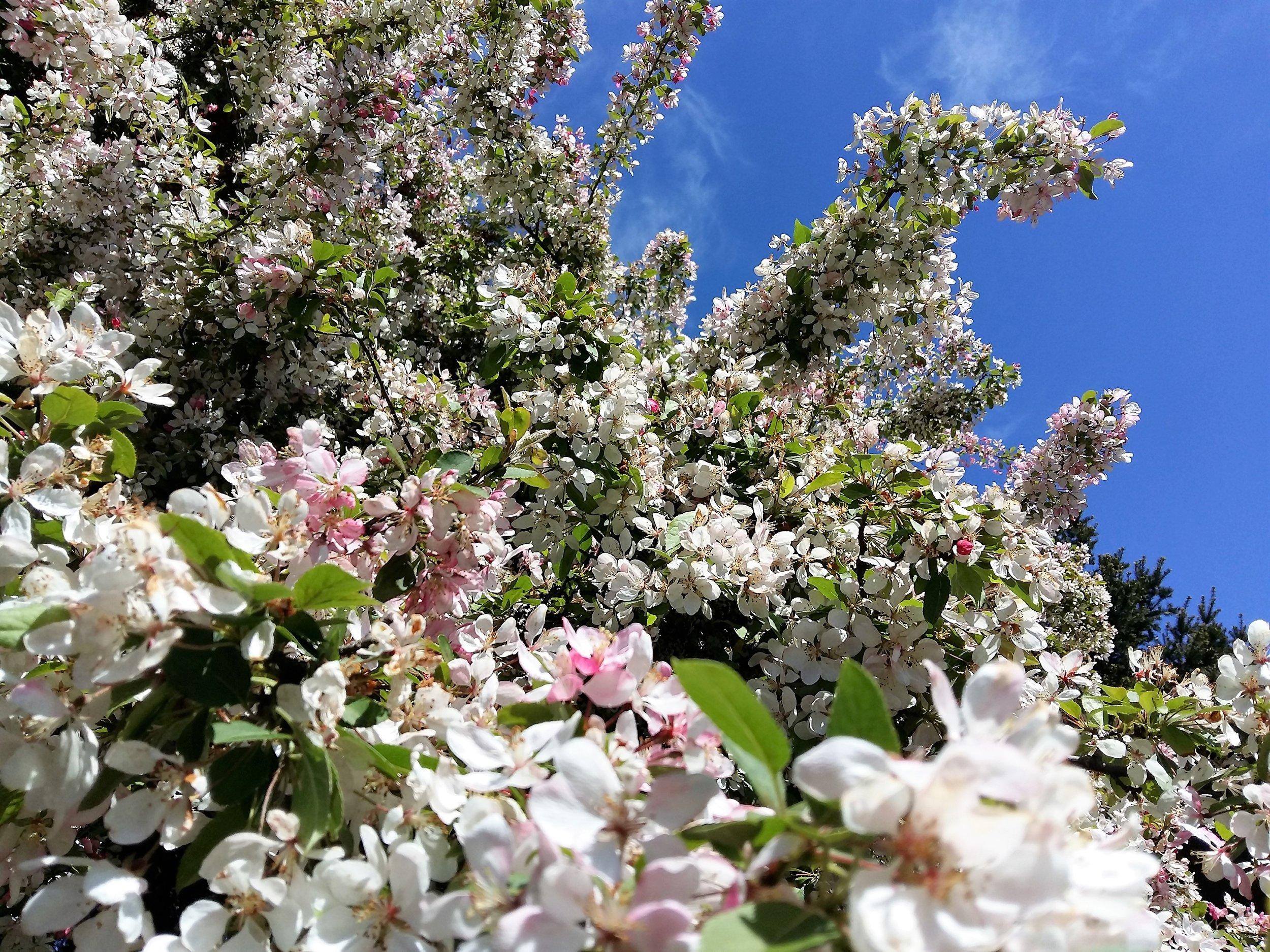 cherry blossom garden victoria.JPG
