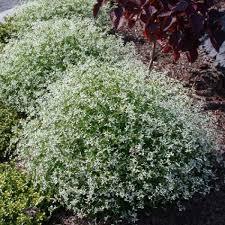 """Euphorbia """"Diamond Frost"""""""