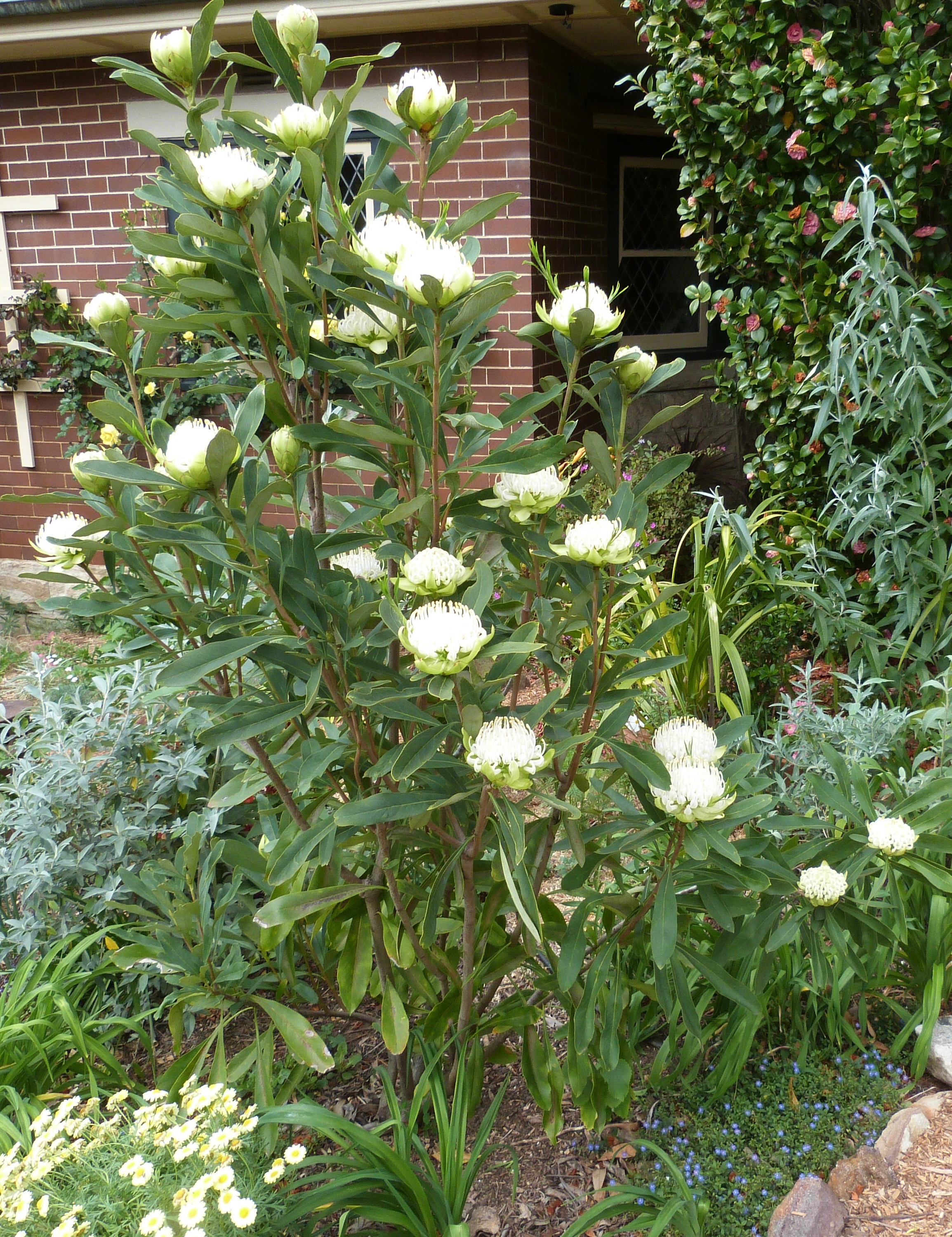 "White Waratah ""Shady Lady"""