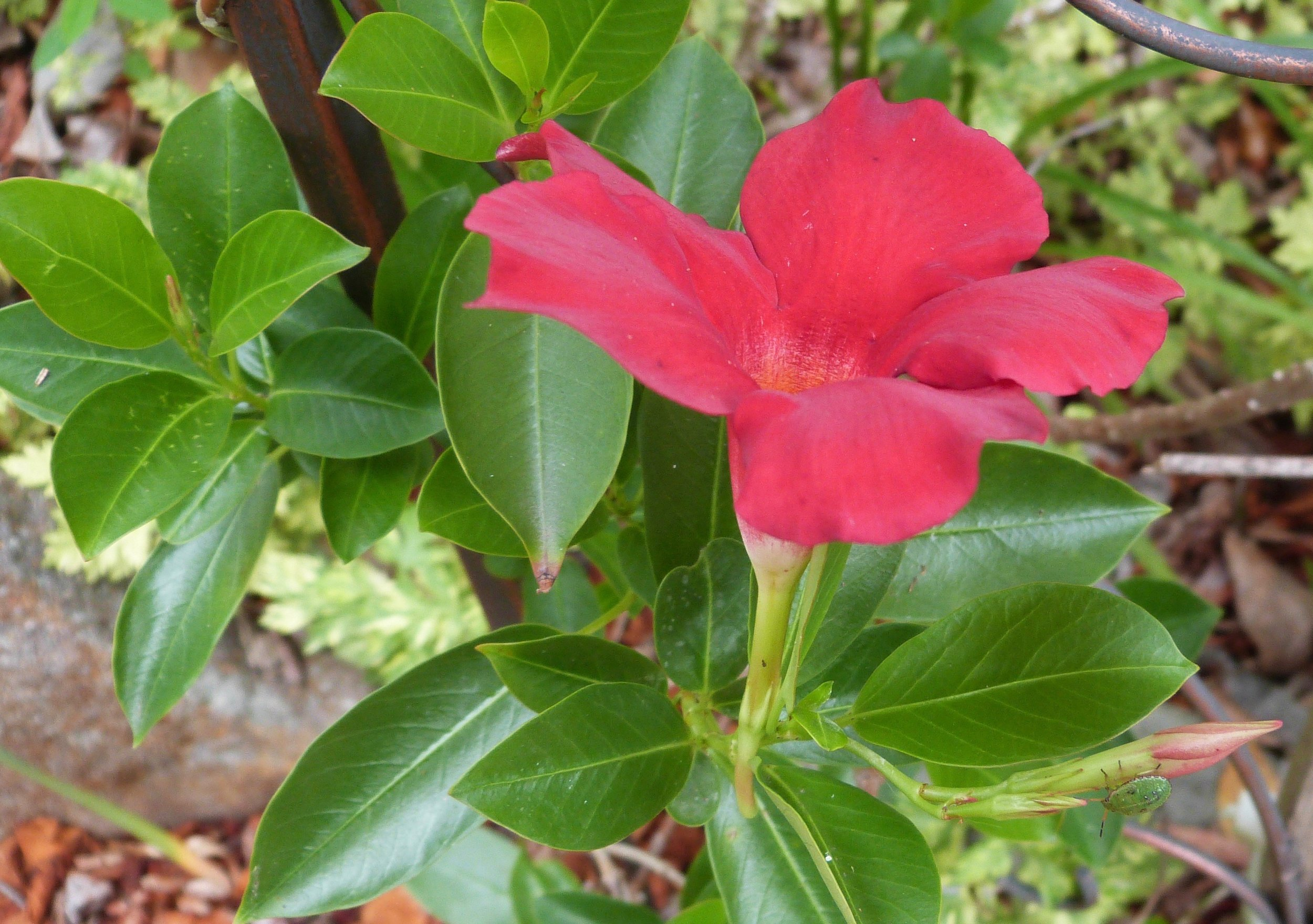 Red Mandevilla