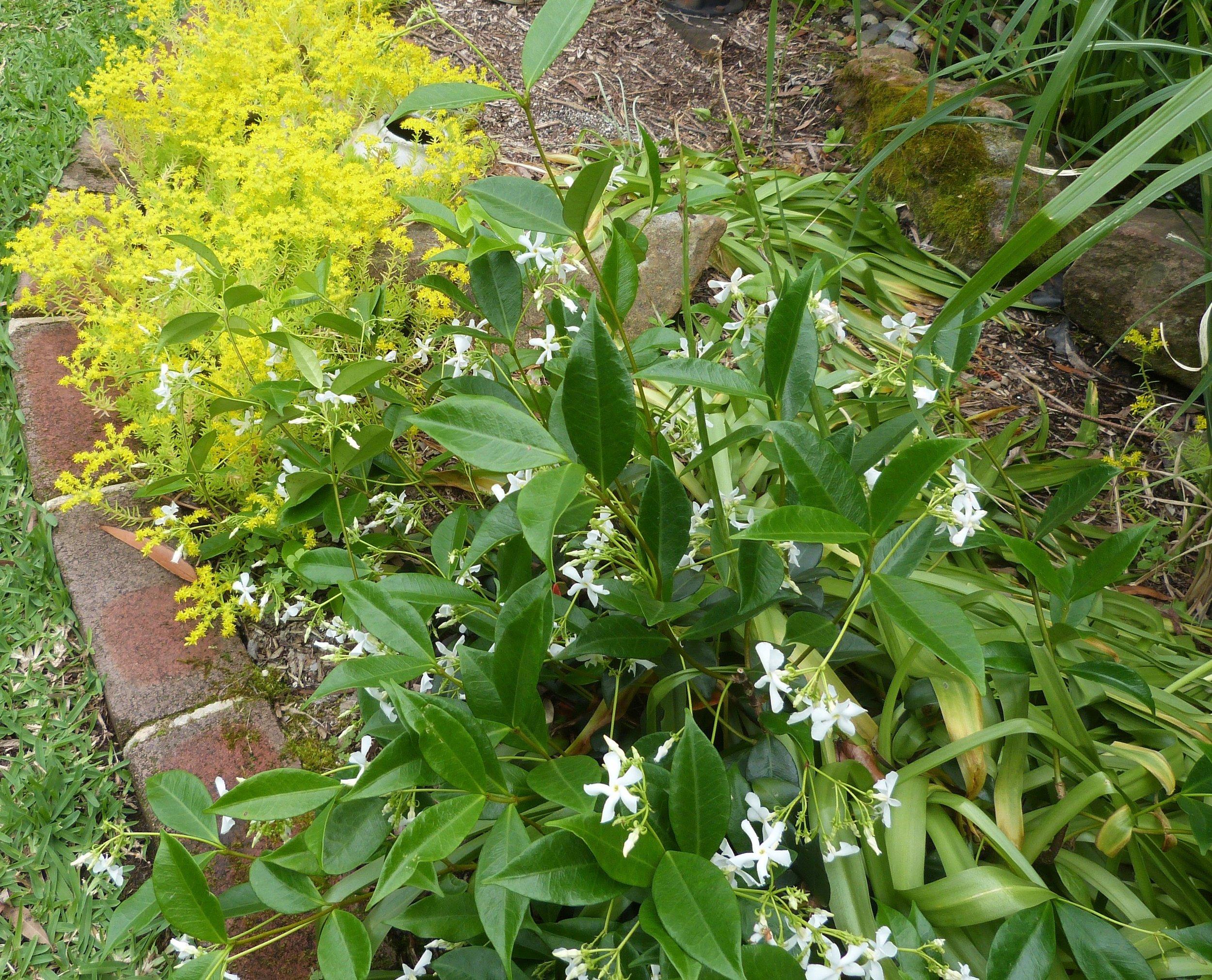Trachelspermum 'Star Jasmine