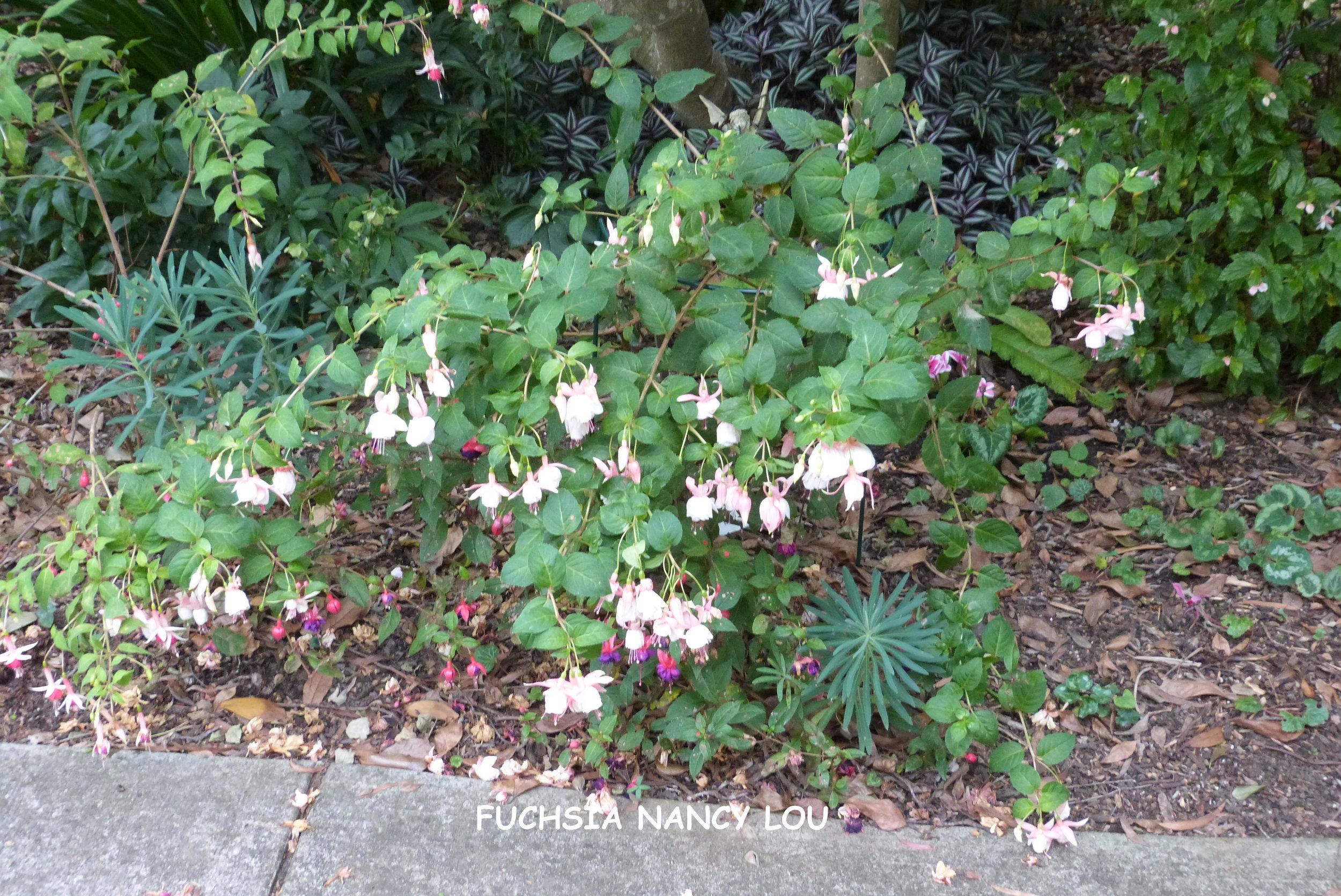 Fuchsia Nancy Lou