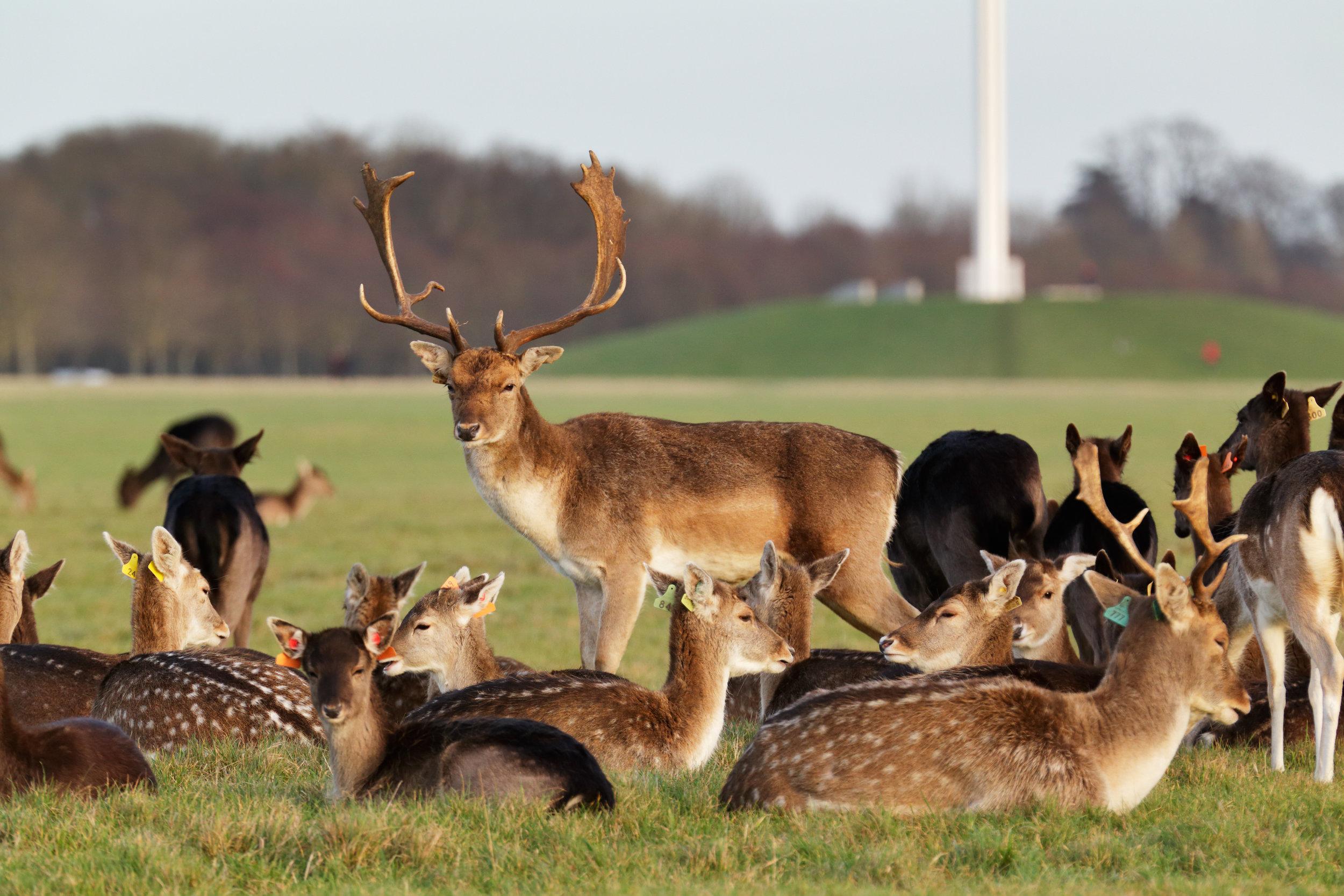 irland_dublin_bigstock-A-herd-of-deer-in-the-Phoenix--99495200.jpg