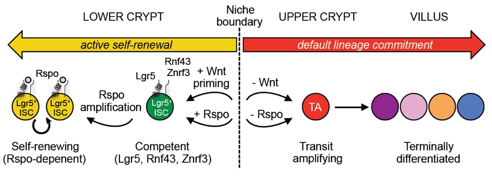 Non-equivalence of Wnt and R-spondin ligands during Lgr5+ intestinal stem-cell self-renewal.  (Yan et al, Nature, 2017) Commentary:  Huels DJ, Sansom OJ. R-spondin Is More Than Just Wnt's Sidekick.   Developmental Cell  . 2017 June 5; 41(5):456-458. PMID:28586642 .