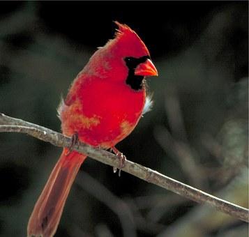 cardinal-529695__340.jpg