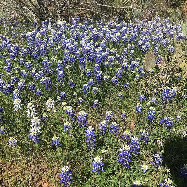 Bluebonnets at Ink's Lake State Park.