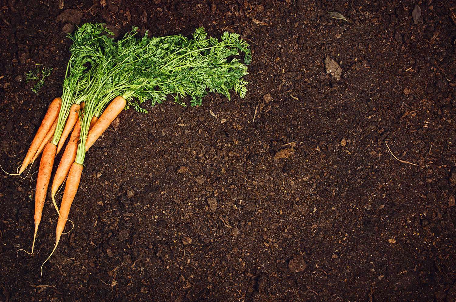 Rich brown soil with carrots laying on top. Freshly picked.