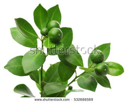 Calamondin Tree with fruit