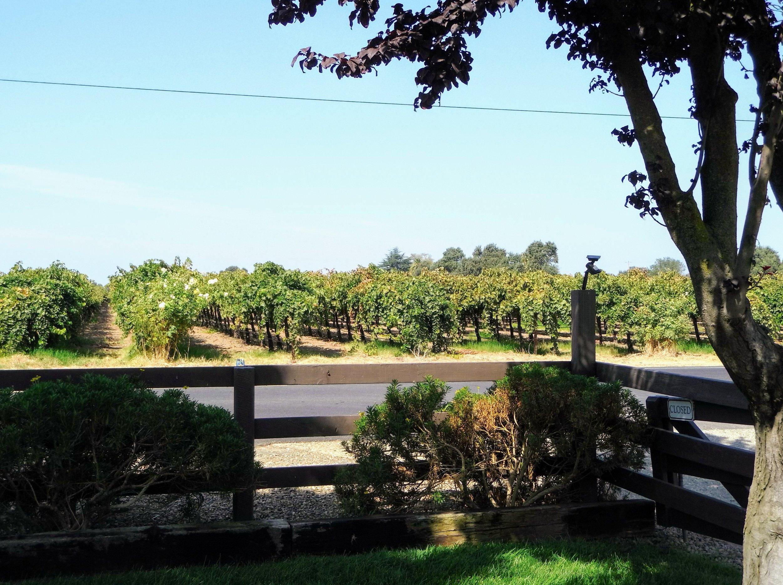 Un aspecto de un viñedo en Lodi, California. Región productora de vinos de calidad.