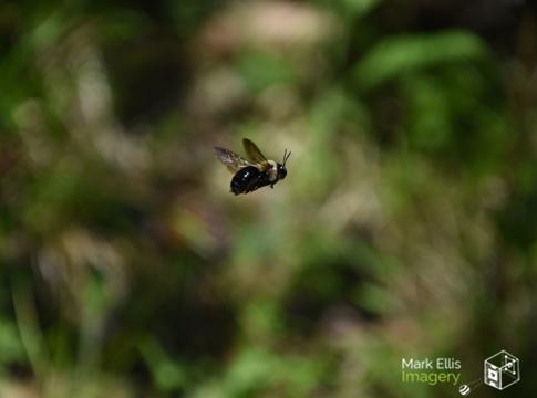 bee in flight xsml cpyrt.jpg