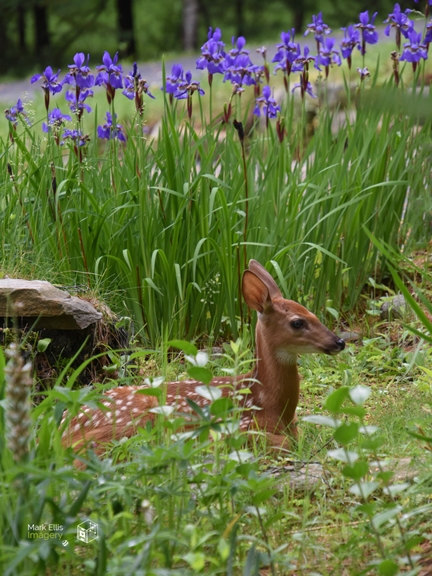 fawn and iris sml cprt.jpg