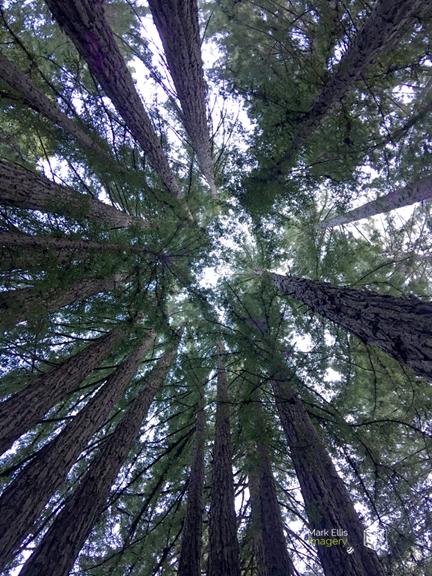 redwoods sml cprt.jpg