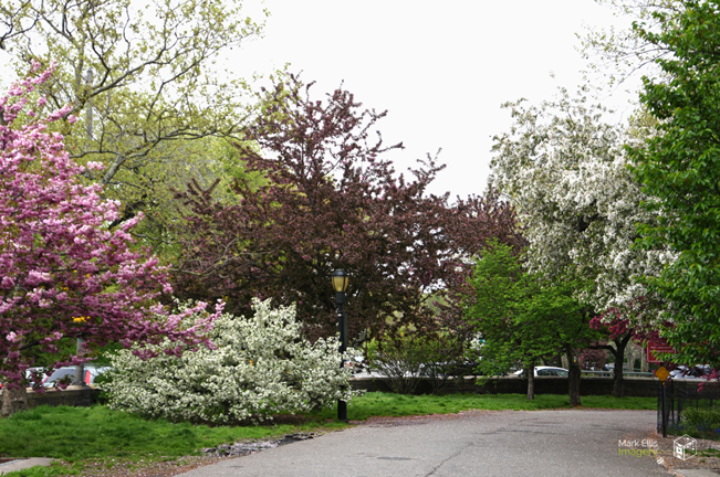 Riverside Park Blossoms 2019 sml cprt.jpg