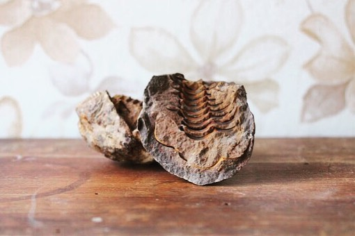 ONE LEFT IN STOCK ! / /Trilobite fossil geode pair / /$14 plus postage / /Trilobites are remarkable, hard-shelled, segmented creatures that existed over 520 million years ago in the Earth's ancient seas. They went extinct before dinosaurs even came into existence, and are one of the key signature creatures of the Paleozoic Era, the first era to exhibit a proliferation of the complex life-forms that established the foundation of life as it is today / / pretty rad huh!? Perfect for fossil hunters or huntresses to add to their collection 🔍 . . . . . . . . . #trilobite #trilobitefossil #trilobitegeodepair #fossilcollectors #fossilhunters #geodepair #seacreatures #seacreaturefossils  #interestingthings #radrocks #scienceisawesome  #rockcollectors