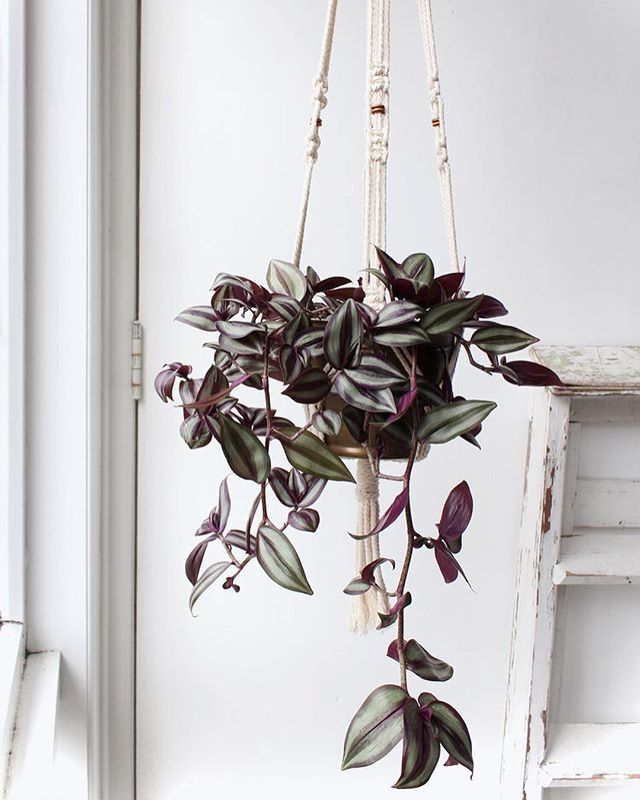 Popped up a few cheeky plant hangers and plants onto the website, including these two stunners which make such an ultimate combo ~ sold separately ~ . 🌿Tradescantia zebrina is an absolute go to for easy care, fast trailing growth and simple as pie propagation! ~link in bio~ . Happy weekend! x . . . . . . #houseplants #houseplantclub #tradescantia  #tradescantiazebrina  #macramemakers #macrameplanthanger  #planthome #plantlife #plantsarerad #adoptaplant #plantsforsale #plantgoals #radplantsforyourhome #breatheeasy #airpurification  #plantsofinsta #plantsofinstagram  #plantclub #plantfriends #plantsmakepeoplehappy  #urbanjungle #plantshelfie  #plantsplantsplants