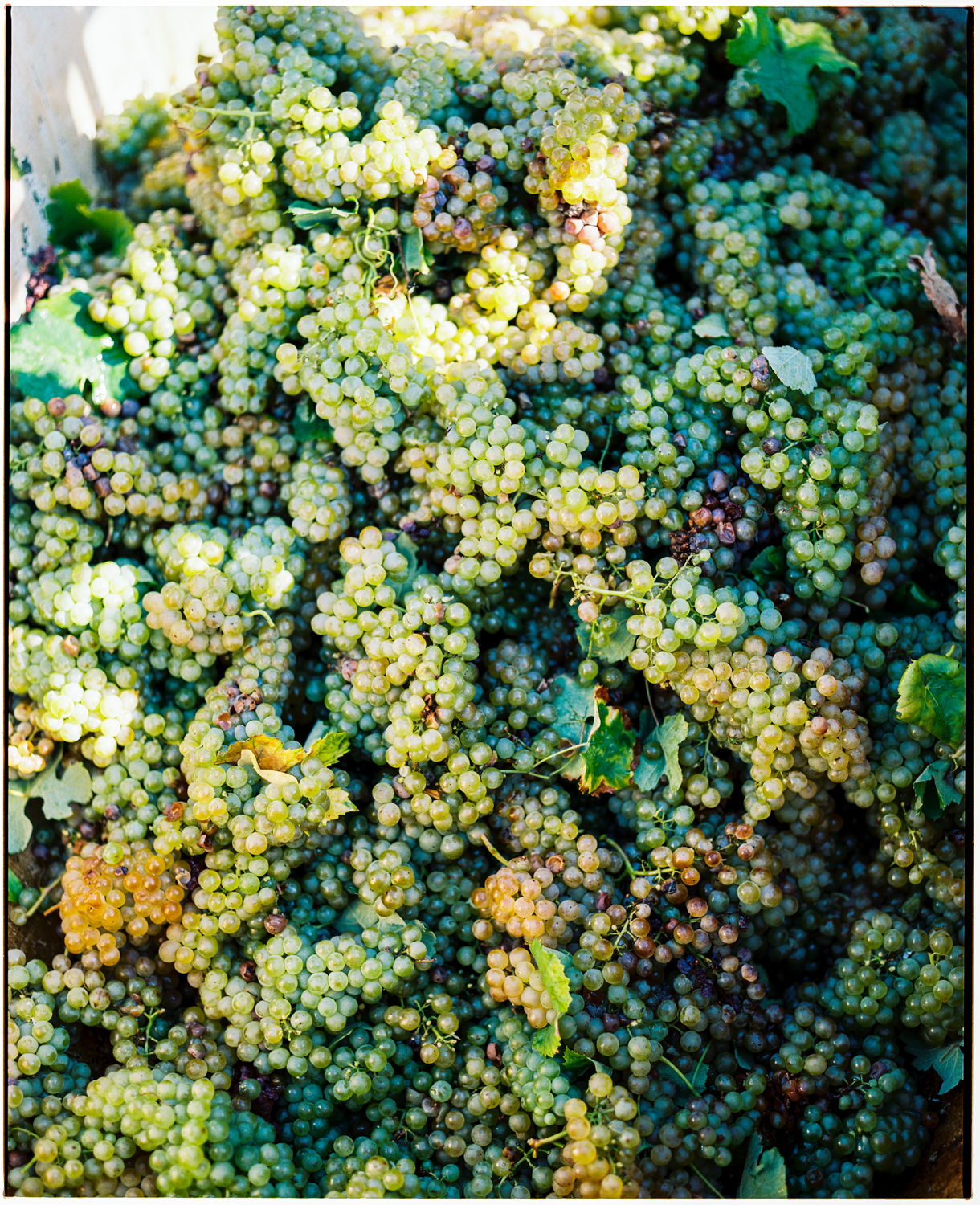 Harvested Grapes Lugo, Italy  2017