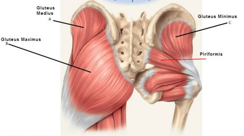 glute-muscles-anatomy-butt-stuff-gluteus-medius-and-piriformis-e1520969540794.jpg