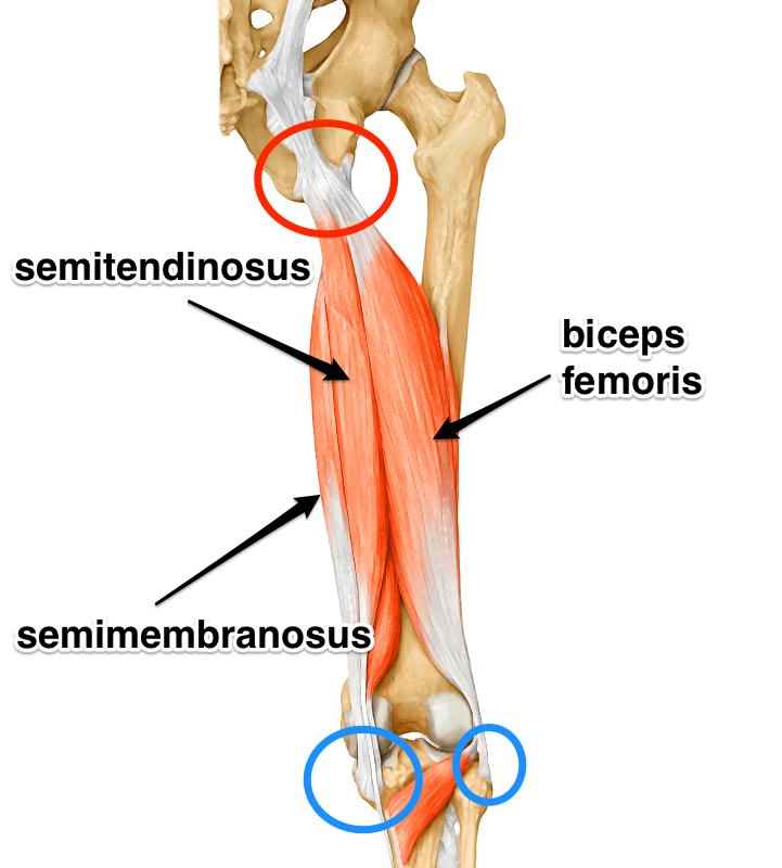 hamstring-yoga-anatomy.png