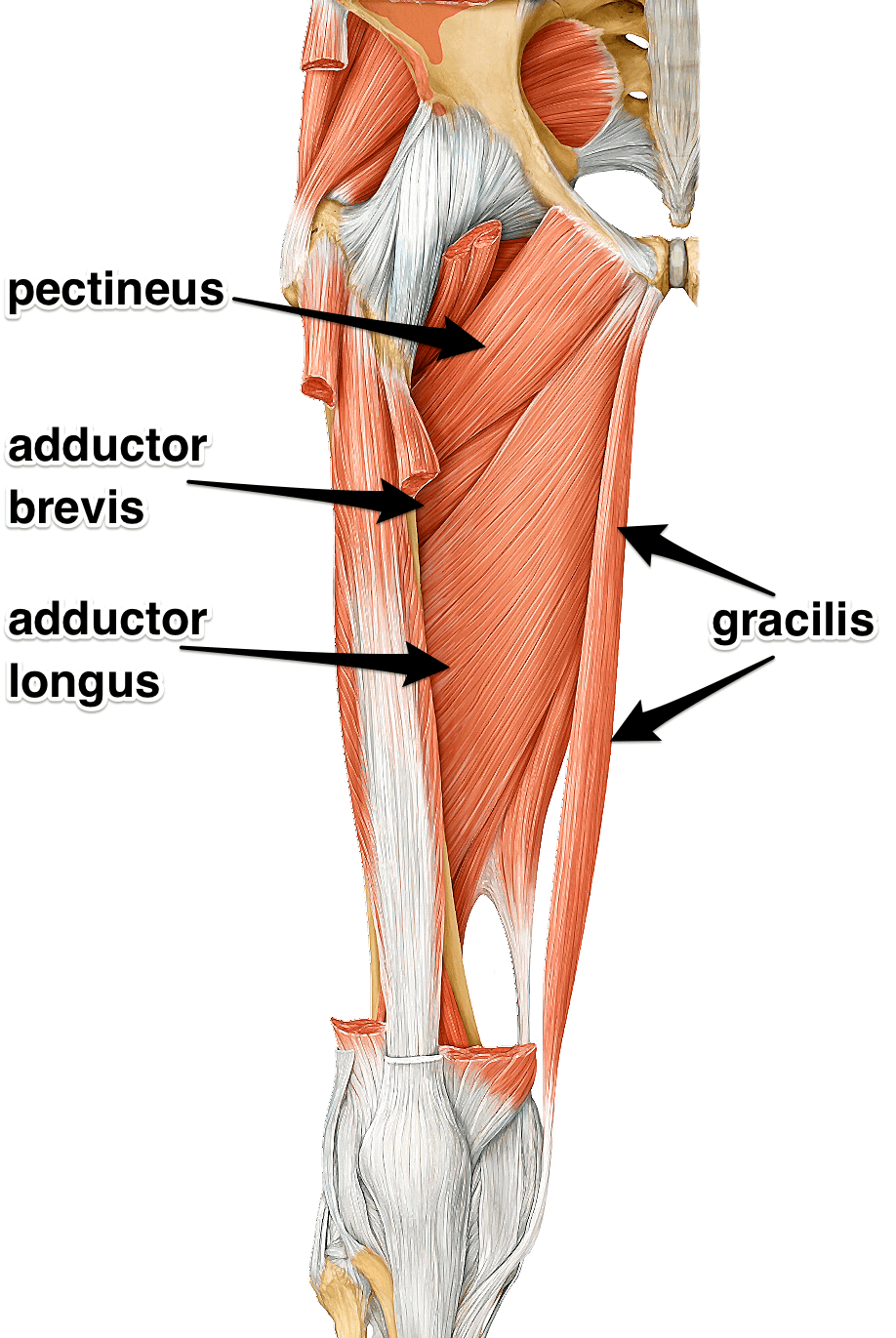 adductors-group-label.png