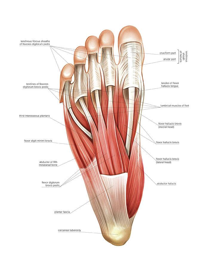 interosseous-muscles-of-the-foot-asklepios-medical-atlas.jpg