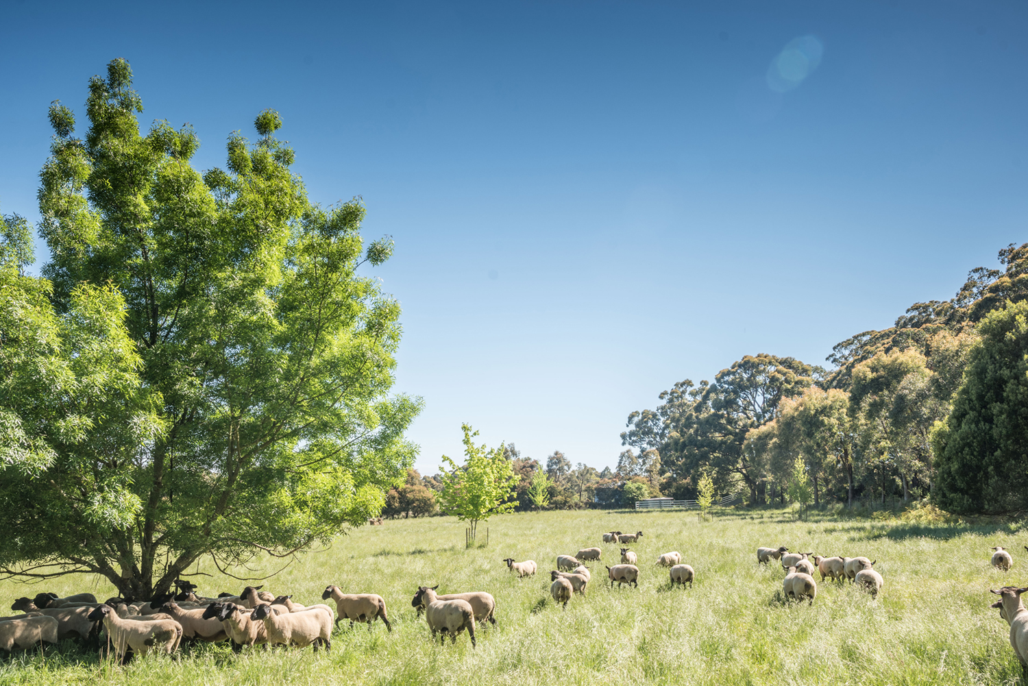 Suffolk sheep grazing at Oberon Stud, Musk, Victoria.