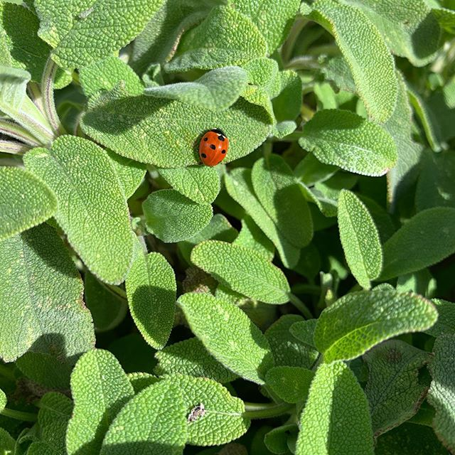 First ladybird visitor of the year. Safe is looking good.