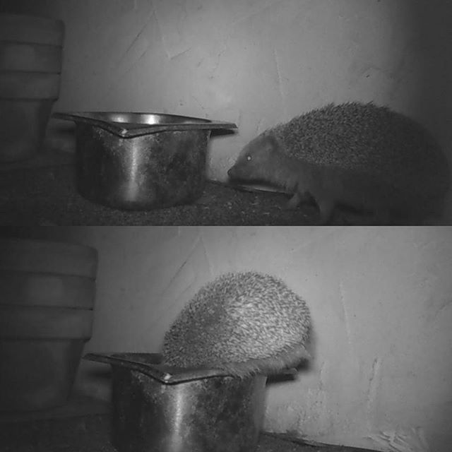 Night time visitor to the cat's dinner biscuits #hedgehogsuk #machrihanish #ukwildlifeimages